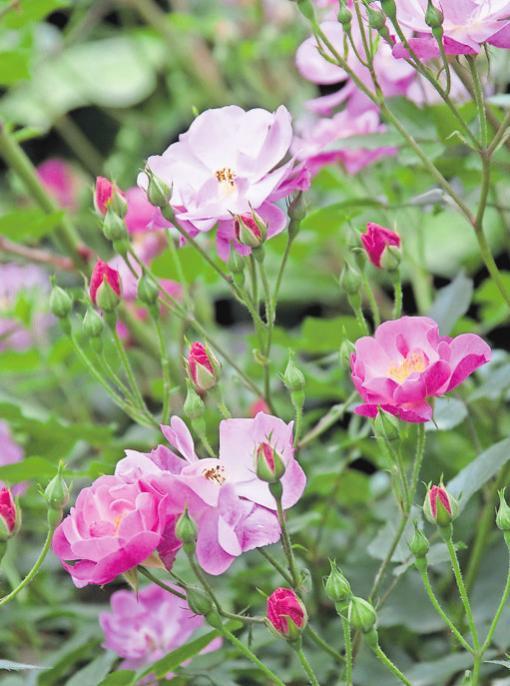 Bei vielen Rosenarten können Hobbygärtner selbst Stecklinge ziehen. FOTO: BDB