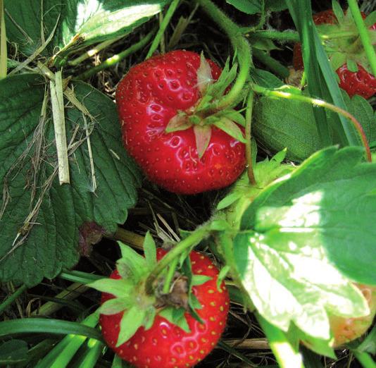 Frische Erdbeeren wollen gepflückt werde