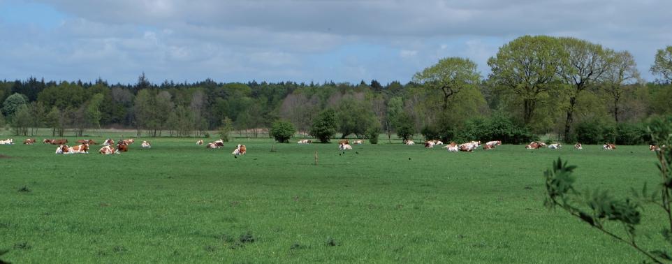 Rinder auf einer Wiese nahe des Klövensteens. Nutztiere sollen auch auf dem neuen Haidehof gehalten werden.