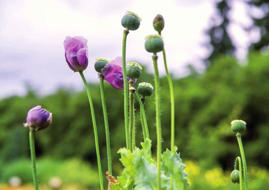Nutzpflanze Schlafmohn FOTO: UTE C. BAUER