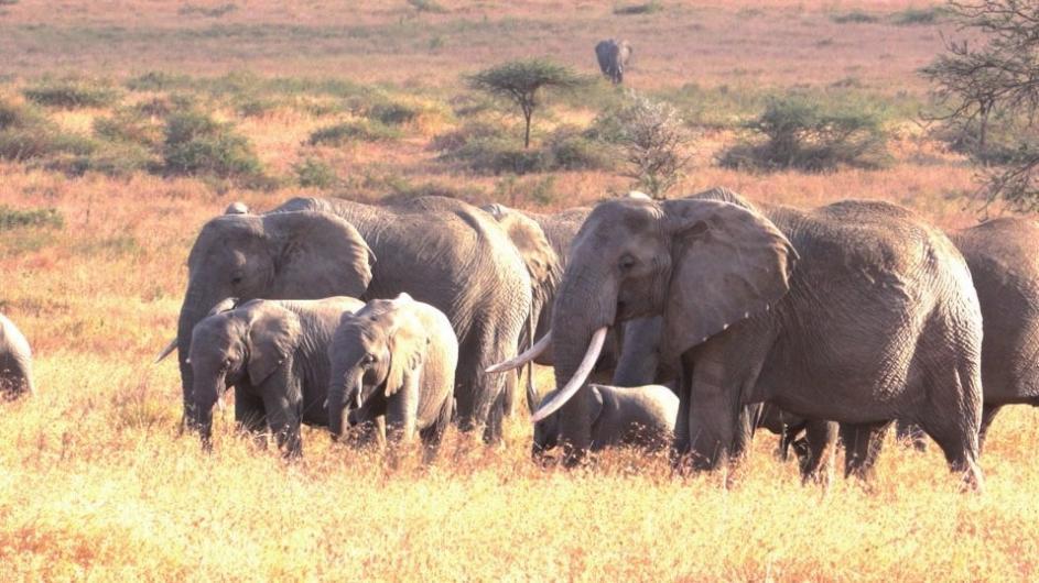 Elefantenherde in Tansania