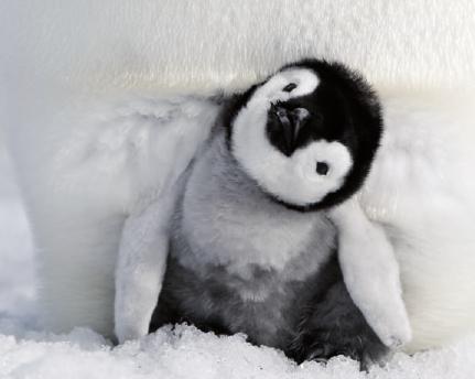 Neugierig entdeckt der kleine Pinguin die Welt FOTO: WILD BUNCH GERMANY